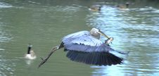 Free Blue Heron Taking Supper Home Stock Images - 14702654