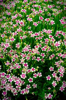 Free Many Small Flowers In A Green Field Royalty Free Stock Photography - 14702917
