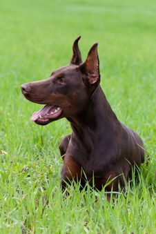 Free Young Doberman Royalty Free Stock Image - 14704166