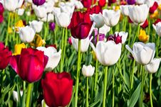 Free Field Of Tulips Close Up Royalty Free Stock Images - 14704219