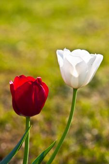 Free Red And White Tulips Close Up Royalty Free Stock Photo - 14704235
