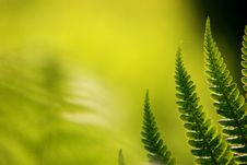 Free Green Fern Royalty Free Stock Image - 14704386