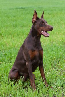 Free Doberman Puppy Royalty Free Stock Image - 14704916
