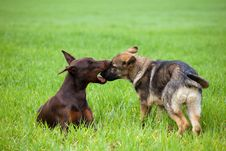 Free Doberman And Shepherd Puppys Playing In The Grass Royalty Free Stock Images - 14705049
