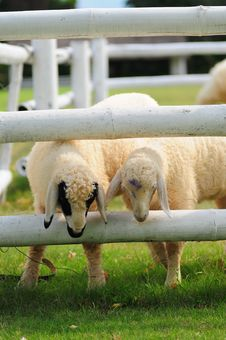 Two Sheeps Stock Images