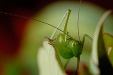 Free Grasshopper Royalty Free Stock Photos - 14705068