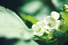 Free Apple-tree Flowers Stock Image - 14705911