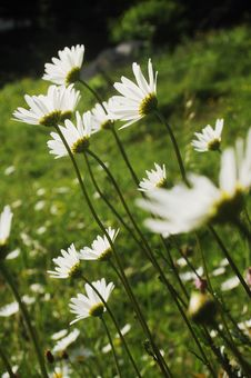 Free White Flowers Stock Photography - 14705992