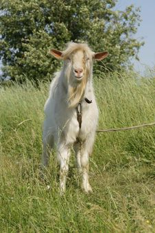 Free Goat Royalty Free Stock Images - 14706239