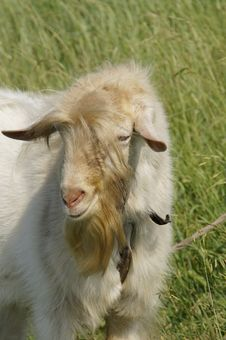 Free Head Of Adult Goat Royalty Free Stock Image - 14706256