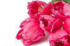 Free Velvet Tulip Royalty Free Stock Image - 14707066
