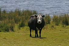 Free Black Cow With White Face Stock Images - 14707184