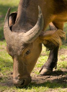 Free Congo Buffalo Stock Photo - 14707940