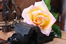 Free Rose Stock Photos - 14708053