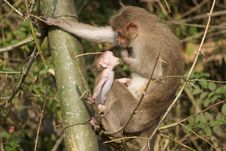 Free Mother And Baby Monkey Stock Photos - 14708223