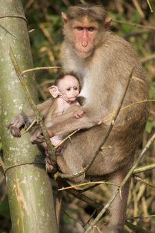 Free Mother And Baby Monkey 2 Royalty Free Stock Photography - 14708237