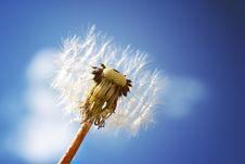 Free Dandelion Stock Image - 14708391