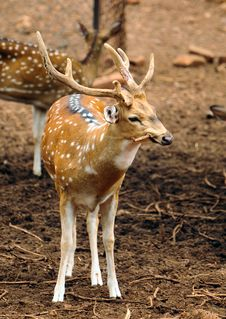 Spotted Male Deer