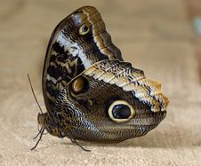 Free Tropical Brown Owl Butterfly Macro Royalty Free Stock Photos - 14709158