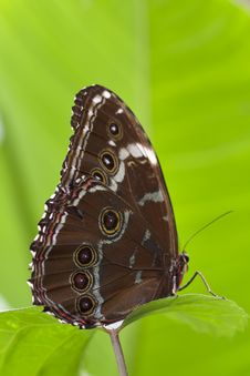 Big Brown Butterfly On Green Background