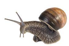 Free Snail On White Background Stock Photos - 14709543