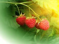 Free Berries  Raspberry Stock Images - 14709664