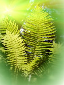 Free Leaves  Fern Royalty Free Stock Photography - 14709677