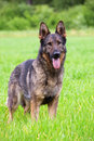 Free German Shepherd Stock Photos - 14713213