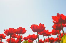 Free Many Red Tulips Stock Images - 14710064