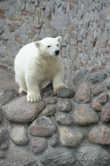 Free Little Polar Bear Royalty Free Stock Image - 14710066