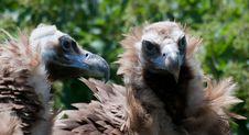 European Black Vulture Royalty Free Stock Photography