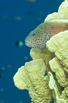 Free Tropical Fish Resting On A Coral Reef. Stock Photos - 14710713