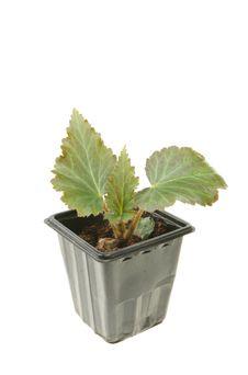 Free Begonia Seedling Stock Image - 14710731