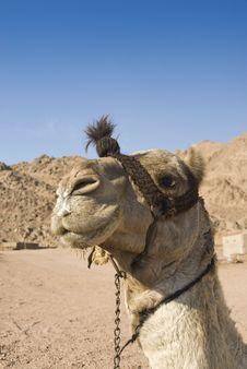 Free Headshot Of A Dromedary Camel. Royalty Free Stock Image - 14710746
