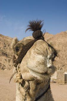 Free Headshot Of A Dromedary Camel. Stock Photo - 14710770