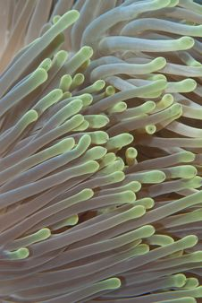 Free Macro Of Magnificent Anemone S Tentacles. Stock Photos - 14710803