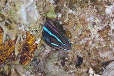 Free Bluestriped Sabretooth Blenny. Royalty Free Stock Photos - 14710808