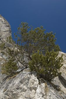 Free Young Pine Tree Growing From A Mountain. Royalty Free Stock Images - 14710849
