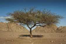 Free Acacia Tree In The Sinai Desert. Royalty Free Stock Photography - 14710867