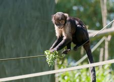 Free Buffy Headed Capuchin Royalty Free Stock Photography - 14710887
