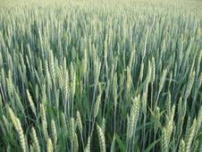 Free Green Young Wheat Field Royalty Free Stock Photo - 14711535