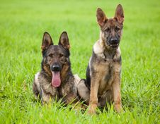 Free Two German Shepherds Royalty Free Stock Image - 14712806