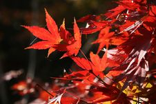 Free Red Leaf Stock Photo - 14713030