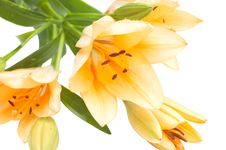 Free Cream Coloured Lily Stock Images - 14713124