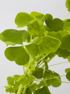 Free Clover Leaves Stock Photo - 14713170