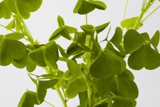 Free Green Clover Leaves Royalty Free Stock Photography - 14713197