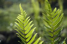 Free Leaf Of A Fern Royalty Free Stock Photography - 14713257