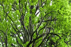 Free Tree Canopy Stock Photos - 14713293