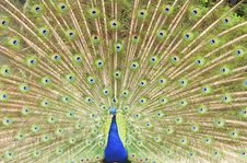 Free Peacock Stock Image - 14713991