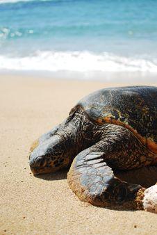 Free Sea Turtle Royalty Free Stock Photos - 14714148